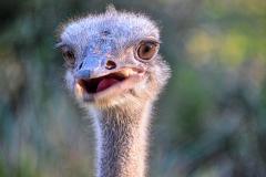 AK-WDW-Ostrich-web