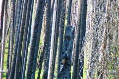 Shashone-Forest-web