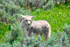 Yellowstone-Coyote-web