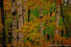 Yellow-Birches-HDR